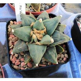 Ariocarpus retusus   Rio Verde    CITES