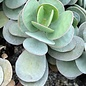 Kalanchoe farinaceae ex scapigera