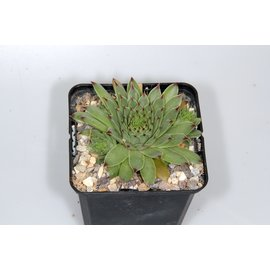 Sempervivum calcareum ´Little´       (dw)