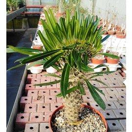 Pachypodium lamerei   Hochpfropfung gepfr. cristata