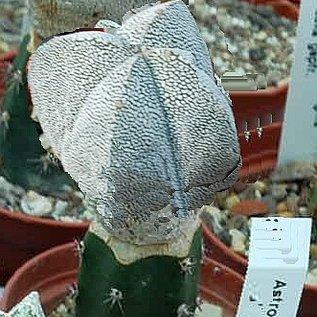 Astrophytum myriostigma  X `Onzuka`  quadricostata  gepfr.