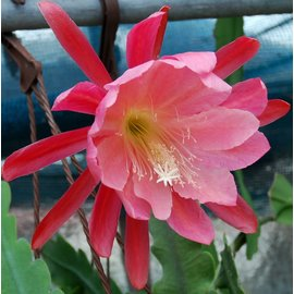 Epiphyllum-Hybr. `Lovely Lady`