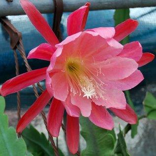 Epiphyllum-Hybr. `Lovely Lady`