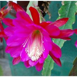 Epiphyllum-Hybr. `Texan`