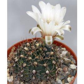 Gymnocalycium quehlianum  BOS 056 Campo Cocucci