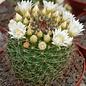 Mammillaria zeilmanniana v. albiflora