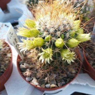 Mammillaria leptacantha cv. Aureiflora