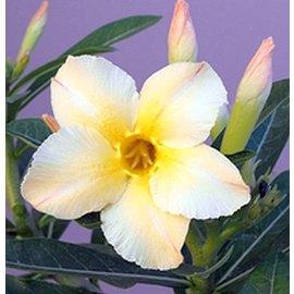 Adenium obesum CC 059 cv. Simple Yellow  gepfr.