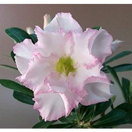 Adenium obesum  cv. Blush  gepfr.