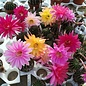 Echinopsis-Hybr. `Icarus` x` Maya`