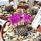 Mammillaria luethyi  GCG 12666 TL. N of Jose Maria Morelos, Coah, Mx.