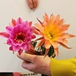 Echinopsis-Hybr. `Romeo` x `Werdermanii` x `Larabanga`