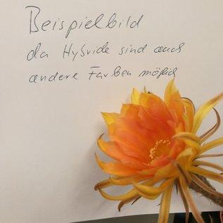 Echinopsis-Hybr. `Nürnberg` x `Santa` x `Frühlingssonne`
