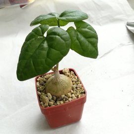 Pyrenacantha malvifolia   tropische Halbwüsten Afrikas