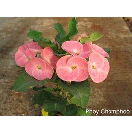 Euphorbia milii Grandiflora-Thai-Hybr.  Phoy Champhoo