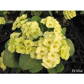 Euphorbia milii Grandiflora-Thai-Hybr. Ek Villain
