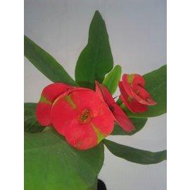 Euphorbia milii Grandiflora-Thai-Hybr. Maha Sakthi
