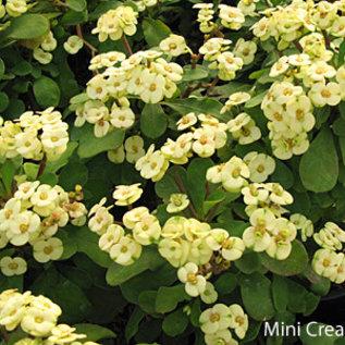 Euphorbia milii-Hybr. Mini Cream