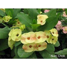 Euphorbia milii Grandiflora-Thai-Hybr. Nam Chock