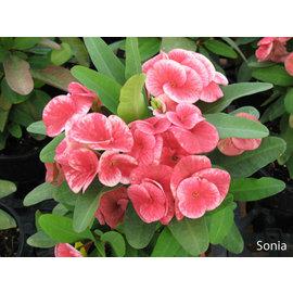 Euphorbia milii Grandiflora-Thai-Hybr. Sonia