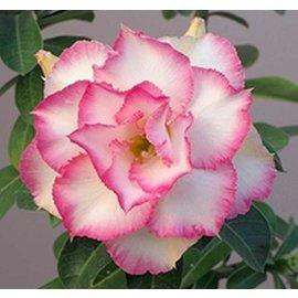 Adenium obesum cv. Pearl buffed