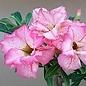 Adenium obesum cv. Pink Diamond   gepfr.