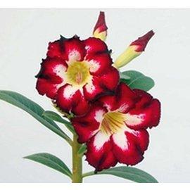 Adenium obesum cv. Perla escarlata