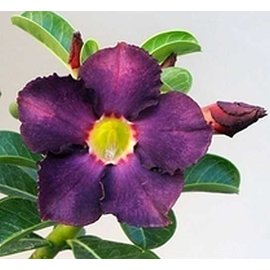 Adenium obesum cv. Simple Black   gepfr.