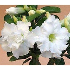 Adenium obesum  cv. Snow King  gepfr.