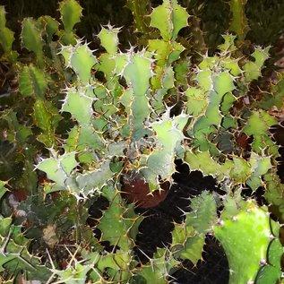 Euphorbia x pseudocactus