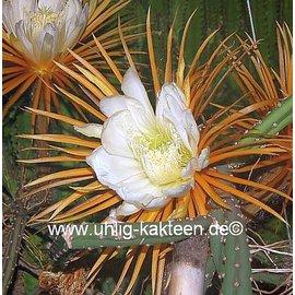 Selenicereus grandiflorus XL     Königin der Nacht
