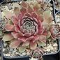 Sempervivum Granat       (dw)