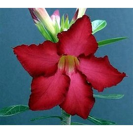 Adenium obesum  cv. Red Robin  gepfr.