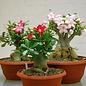 Adenium obesum  cv. Mixed Colours