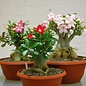 Adenium obesum Mixed Colours