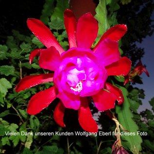 Epiphyllum-Hybr. Blacklight
