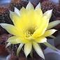 Echinopsis aurea   (syn. Lobivia)
