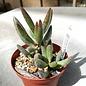Adromischus filicaulis ssp. filicaulis RL 412-59 Bowersdorp ex. Whitestone