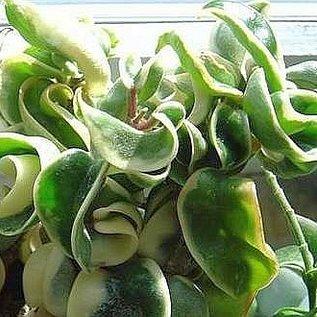 Hoya carnosa compacta margin variegata