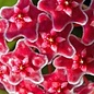 Hoya carnosa cv. Red