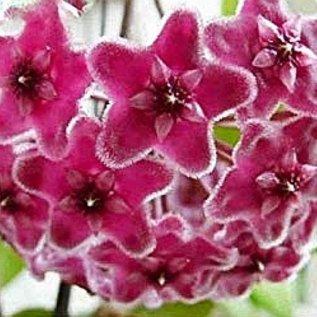 Hoya carnosa cv. Pink