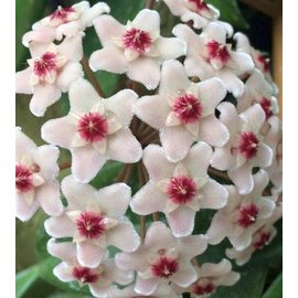Hoya carnosa cv. White