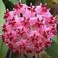 Hoya erythrostemma cv. Shocking Pink sp.aff.