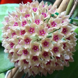 Hoya Hanhiae Yellow-Pink flower