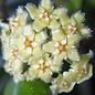 Hoya erythrina Bajo sp.aff.