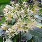 Hoya multiflora cv. White Margins  Philipinas
