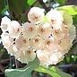 Hoya cystianthae