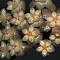 Hoya hainanensis spec. DaNang SR 293-004 Vietnam