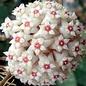 Hoya verticillata Margin Variegata