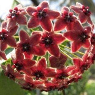 Hoya rubida  PNG 4